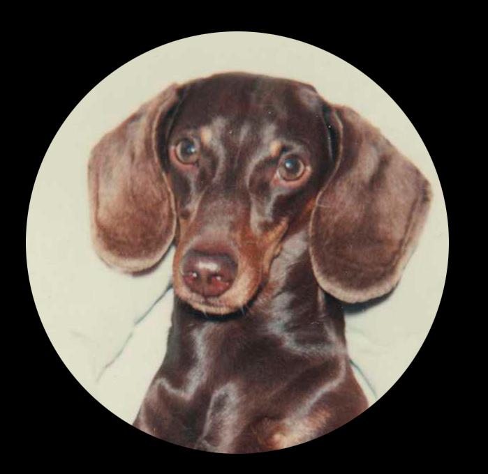 maurice teckel dachshund