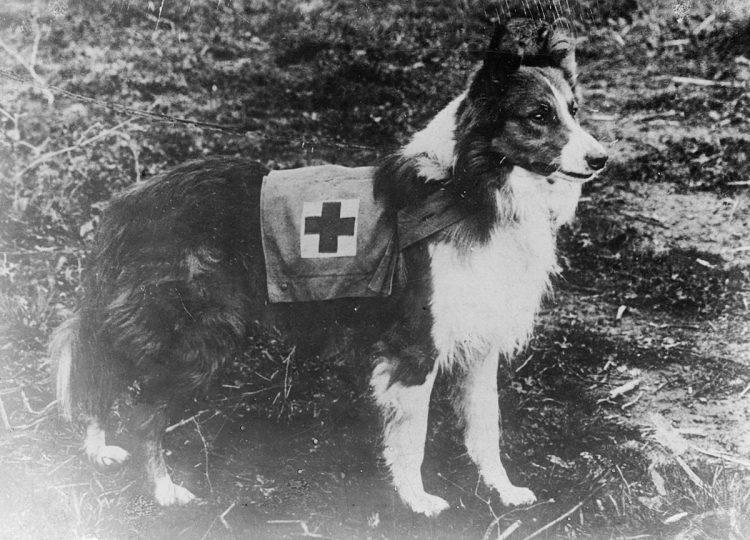 Perro de la raza collie como rescatista de la Cruz Roja, 1909