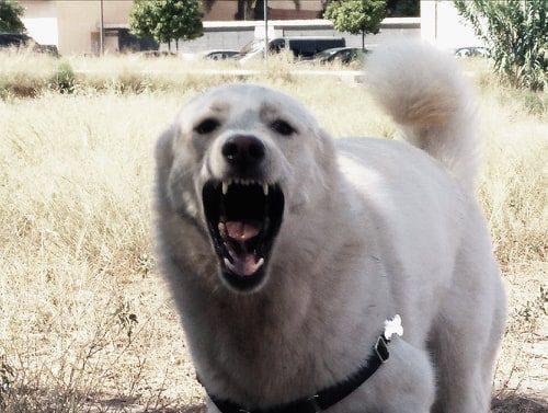 perro pastor guardian