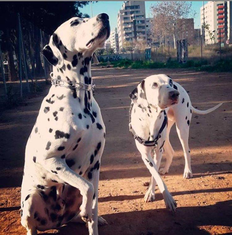 perros dálmatas blanco y negro
